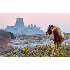 Horse and Castle (Chris Jones www.chrisjonesphotographer.uk) Tags: morning building fort ancient hillside swanage coast jurassic animal heathland photographer jones chris uk england west south frost winter dorset purbecks castle corfe horse