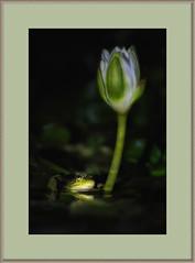 Fazzad-6D-2019-02-05-55483 8x12 wl (Fuad Azzad) Tags: costarica frog rana rã forreris forreri nature naturaleza natureza animal fauna noite noche night water agua aqua