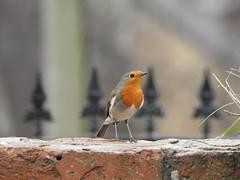 Robin (Simply Sharon !) Tags: robin bird wildlife britishwildlife nature gardenbird inthegarden gardenvisitor march