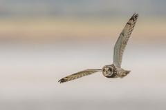Short-eared Owl (Glenn.B) Tags: gloucestershire nature owl shortearedowl avian bird scrubland grassland wildlife raptor birdofprey