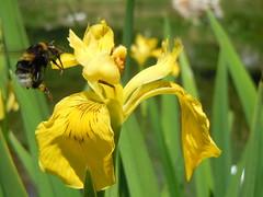 Iris pseudacorus L. (Giardino Botanico Alpino Viote - Monte Bondone) Tags: giardinobotanicoviote montebondone muse bondone giardinobotanico botanicalgarden botanicgarden trentino trentinoaltoadige botanica botanic nature italy flower