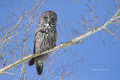 Great Gray Owl (Canon Queen Rocks (2,800,000 + views)) Tags: feathers wildlife wings wild nature naturephotography trees owls owl greatgreyowl eyes yelloweye markings birds bird birdsofprey birdofprey raptor raptors sky bluesky