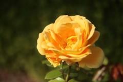 Yellow Rose      SOM Berthiot Tele Cinor  1:2.5  F=75 (情事針寸II) Tags: yellow クローズアップ 自然 花 薔薇園 薔薇 cmountlens bokeh closeup nature fleur flower rosegarden rose kasteelcoloma somberthiottelecinor125f75