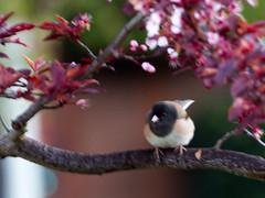 Plum Tree 20190321 (caligula1995) Tags: 2019 birding morning plumtree
