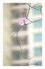 SHF_8669_Bauhinia variegata (Tuan Râu) Tags: 1dmarkiii 14mm 100mm 135mm 1d 1dx 2470mm 2019 50mm 70200mm canon canon1d canoneos1dmarkiii canoneos1dx bauhiniavariegata flowers flora floral color red yellow beautiful beauty tuanrau tuan tuấnrâu2019 râu httpswwwfacebookcomrautuan71