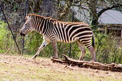Plains zebra (pastough) Tags: nashvillezoo equusquagga nashville plainszebra tennessee march2019