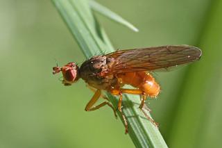 Scathophaga inquinata (2)