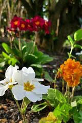 P1150383 (harryboschlondon) Tags: plantstreesandflowers naturephotography nature botanical botanicalphotography england englandphotography flowers flowersphotography harrybosch harryboschflickr harryboschphotography harryboschlondon march2019 march 2019 18thmarch2019 forbury white