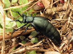 Oil Beetle (treegrow) Tags: nature lifeonearth raynoxdcr250 arthropoda glendening maryland coleoptera beetle meloe meloidae
