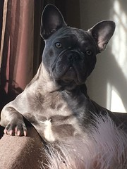 A very distinguished Frenchie (De Goedegebuurtjes™) Tags: model dogmodel distinguished bouledogue hunden hund bouldogue perros perro pups puppies puppy pup hond bulldog french dogs dog frenchie