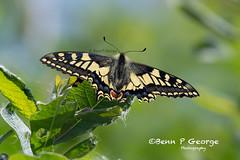 SWALLOWTAIL-BUTTERFLY-27-5-18-RSPB-STRUMPSHAW-FEN-(3) (Benn P George Photography) Tags: rspbstrumpshawfen 27518 bennpgeorgephotography rspb drinkermoth caterpillar goldenbloomgreylonghornbeetle beetle swallowtailbutterfly butterfly nature insects nikond7100 nikon d7100 nikon200500