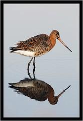 BLACK TAILED GODWIT { summer plumage } (PHOTOGRAPHY STARTS WITH P.H.) Tags: black tailed godwit summer plumage nikon d500 lodmore weymouth dorset gitzo mk 5 wimberley wh200 gimbal 500mm afs vr