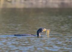 The world is full of plastic (ukmjk) Tags: cormorant plastic pollution lake nikon nikkor d500 200500 vr staffordshire stoke bird