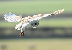 Barn Owl (toothandclaw1) Tags: owl raptor barn bird prey countryside hovering