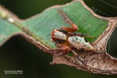 Lynx spider (Hamataliwa sp.) - DSC_3744 (nickybay) Tags: singapore admiraltypark macro hamataliwa lynx spider oxyopidae