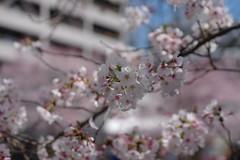 IMGP4430 (kirinoa) Tags: 神奈川県 横浜市 日ノ出町 黄金町 大岡川 桜