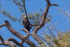 Bald Eagle (Stephen J Pollard (Loud Music Lover of Nature)) Tags: baldeagle águilacabezablanca águilacabeciblanca haliaeetusleucocephalus raptor averapaz avedepresa birdofprey ave bird