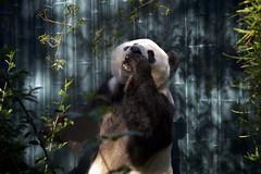 Xiao Liwu (Rita Petita) Tags: xiaoliwu sandiegozoo sandiego california china giantpanda panda specanimal specanimalphotooftheday