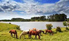 Ressojando (Eduardo Amorim) Tags: cavalos caballos horses chevaux cavalli pferde caballo horse cheval cavallo pferd crioulo criollo crioulos criollos cavalocrioulo cavaloscrioulos caballocriollo caballoscriollos pampa campanha pelotas costadoce riograndedosul brésil brasil sudamérica südamerika suramérica américadosul southamerica amériquedusud americameridionale américadelsur americadelsud cavalo 馬 حصان 马 лошадь ঘোড়া 말 סוס ม้า häst hest hevonen άλογο brazil eduardoamorim pôrdosol poente entardecer poniente atardecer sunset tramonto sonnenuntergang coucherdesoleil crepúsculo anoitecer açude barrage dam damm aguada diga