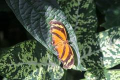 Vacances_0877 (Joanbrebo) Tags: mainau konstanz badenwürttemberg de deutschland papallona papillon butterfly mariposa farfalle canoneos80d eosd autofocus