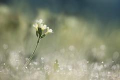 it's springtime ! (Moni E) Tags: flower spring springtime nature dew bokeh blossom cowslip schlüsselblume nymphenburgerpark flora eos canon