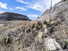 Prickly-pear Cactus and Badland Views (TheNovaScotian1991) Tags: badlands drumheller alberta googlepixel3xl cameraphone beautiful pricklypearcactus cactuses mountains bluesky clouds landscape dry grass canada plants