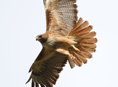 Red tail close up (charlescpan) Tags: