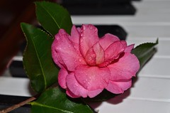 Camellia (deanrr) Tags: camellia flower piano petals leaves morgancountyalabama alabamanature nature outdoor