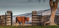 Cow (Ignacio Ferre) Tags: cow cattle vaca ganado livestock bostaurus mammal mamífero animal herbívoro nikon ngc