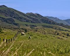 Curious Sheep (DASEye) Tags: davidadamson daseye nikon newzealand nz sheep valley vista vistas dale mountains mountain green sky