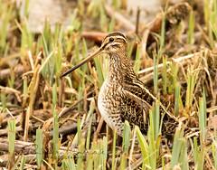 Common Snipe (~ **Barbara ** ~) Tags: snipe bird wader water wildbird naturereserve summerleys northamptonshire canon7dii