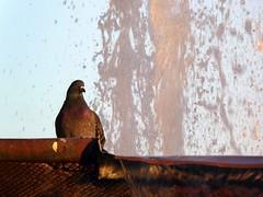 doccia serale (fotomie2009) Tags: bird uccello animal fauna pigeon piccione fontana water acqua tramonto sunset