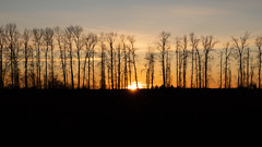 Golden Birch (Sworldguy) Tags: birch trees silhouette sunset mapleridge sky winter season landscape sunrays sonya73 black