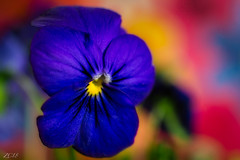 Feeling blue? (Snap.off) Tags: wildflowers wildflower arizona phoenix naturephotography naturelovers nature botanical floral flowers flower sonyalpha sonyemount sonya6000 smctakumar50mmf14 takumar smc macro closeup bokehlovers bokeh