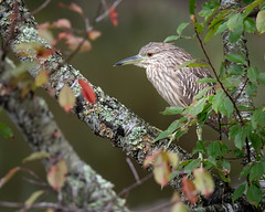 Black-crowned Night Heron (jeffloomis1) Tags: blackcrownednightheron heron assateague