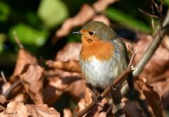 Another Friendly Robin (Eleanor (No multiple invites please)) Tags: bird robin leaves busheyrosegarden bushey uk nikond7200 january2019 ngc