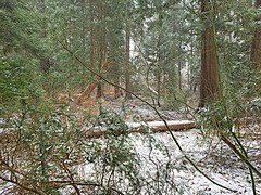 Snow begins to fall in the woods (walneylad) Tags: westlynn lynnvalley northvancouver britishcolumbia canada woods woodland forest urbanforest rainforest trees log branches leaves ferns green brown white snow february winter nature scenery view