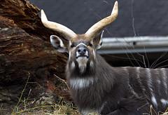 Sitatunga (Tragelaphus spekii) (CGDana) Tags: national zoo smithsonian mammal megafauna dc canon 7d mkii