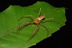 Lynx Spider (Oxyopes sp., Oxyopidae) (John Horstman (itchydogimages, SINOBUG)) Tags: macro china yunnan itchydogimages sinobug spider arachnid oxyopidae lynx black orange