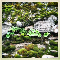 An abundance of life (Julie (thanks for 9 million views)) Tags: 100xthe2019edition 100x2019 image36100 wall moss navelwort green squareformat hipstamaticapp ireland irish flora foliage iphonese stone cobweb web hww lichen hggt