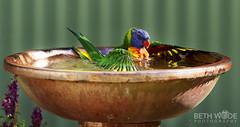 Bird Bath (Beth Wode Photography) Tags: lorikeets bird colourfulbird birdbath birdsplashing birdswimming beth wode bethwode