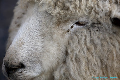 I went down to the farm...sort of...No 11 Wooly Bully! (Walt Snyder) Tags: canoneos5dmkiii canonef100400mmf4556l farm animals sheep ram wool portrait nose
