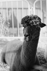 10230006_5 - on1 (douglasjarvis995) Tags: alpaca livestock country show farming farm animal film xp2 yashica electro 35 illford