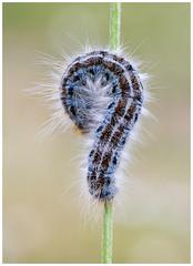 Lackey Moth caterpillar (nigel kiteley2011) Tags: caterpillar moth insect macro nature