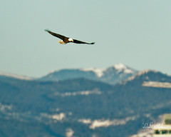 Bald Eagle Flies In Front of Rocky Mountains (dcstep) Tags: dsc6439dxo eagle baldeagle flight flying fly bif birdinflight bird cherrycreekstatepark colorado usa aurora allrightsreserved copyright2019davidcstephens dxophotolab220 rockymountains mountains snowcaps
