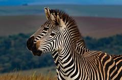 The main characters in our Nyika project. (zimbart) Tags: fauna malawi mammalia mammals nyikaplateau vertebrata africa perissodactyla equidae equus equusquagga
