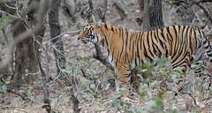 Vitamin T Ranthambore Tiger DSC_3943 (JKIESECKER) Tags: tigers tigerpreserves india protectedareas nature nationalpark peopleandnature ecotourism ecosystemservices wildlife wildlifeviewing wildlifeportrait travel trees animals animalportrait