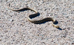 Baby snake (salaminijo) Tags: snake ribarica zoo natrixtessellata nature canon eos srbija animalsworld spring reptile reptiles amphibian amphibians wildlife ef70200mmf4l flickr
