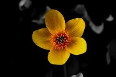 Marsh Marigold (Vida Péter) Tags: natural wesen vegetable pflanze flower blume black schwarz white weis springtime vorfrühling természet növény virág fekete fehér tavasz photo photography canon eos100d