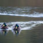 Zurich Duck Gang thumbnail